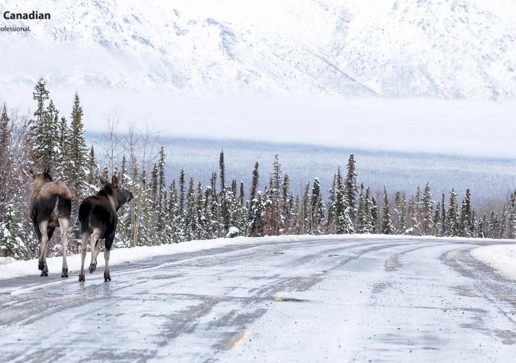 Big Trouble in Canada – Moose Are Licking Cars in Alberta!