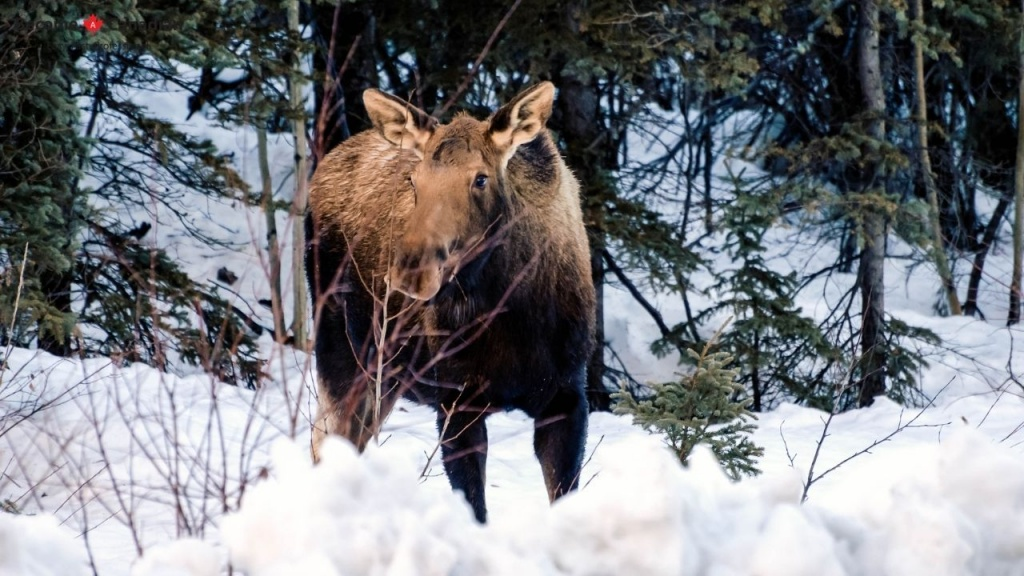 Moose Are